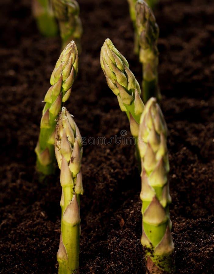 Aspargo orgânico no campo da colheita imagem de stock