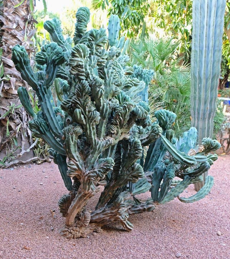 Aspecto inusual del cactus feo, feo fotografía de archivo