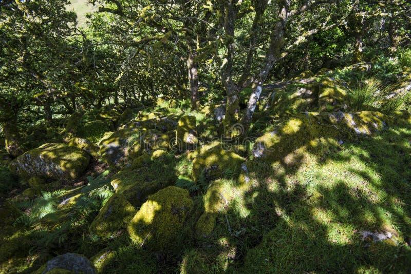Aspekty Wistman ` s drewno - antyczny krajobraz na Dartmoor, Devon, Anglia obrazy stock