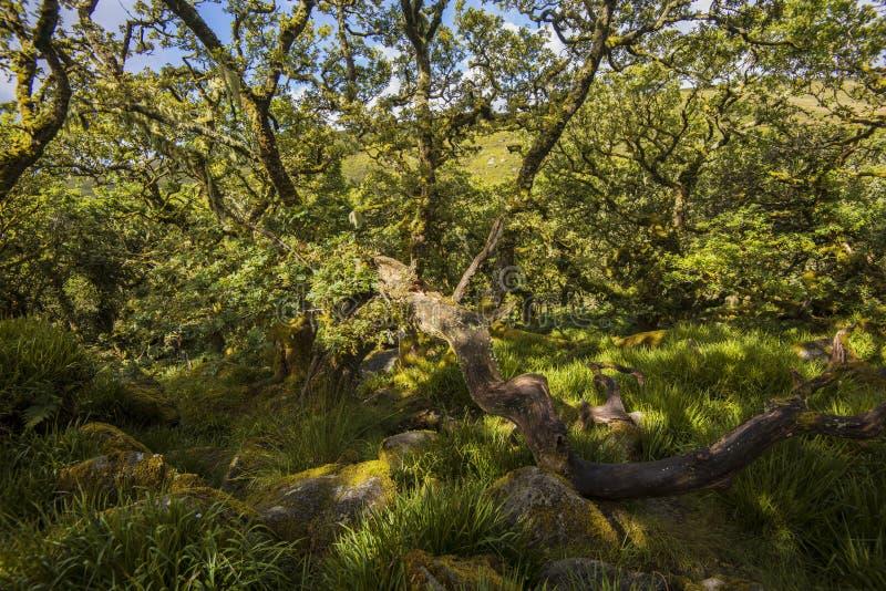 Aspekty Wistman ` s drewno - antyczny krajobraz na Dartmoor, Devon, Anglia obrazy royalty free