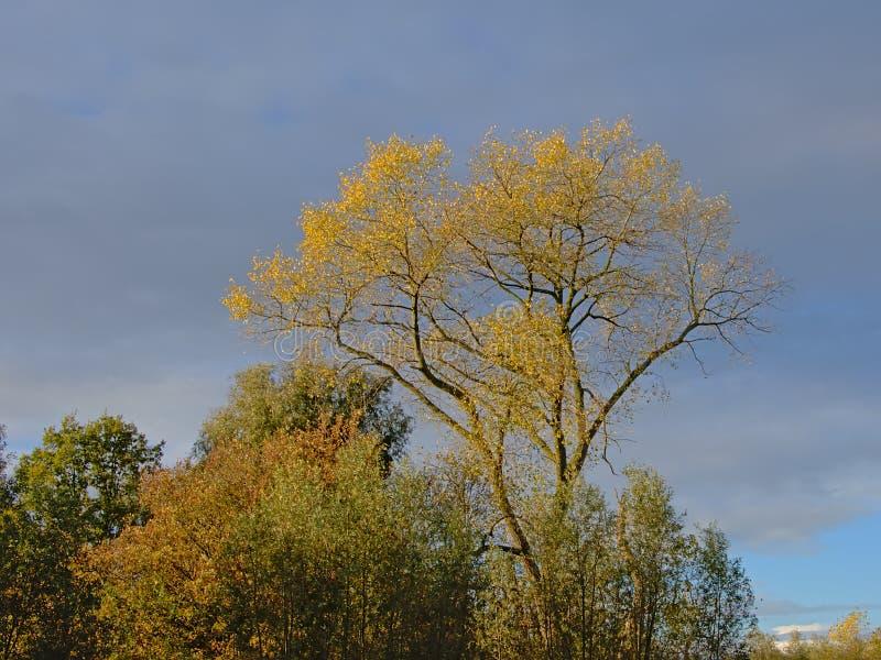 Aspen и другие деревья осени на cludy небе - tremula Populus стоковая фотография rf