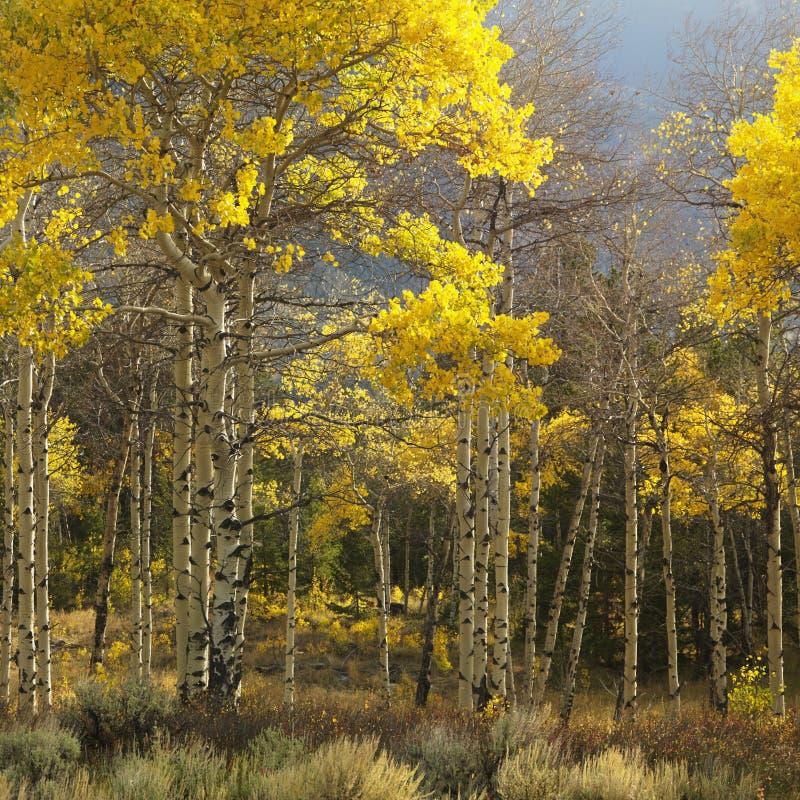 Aspen-Bäume in der Fallfarbe stockbilder