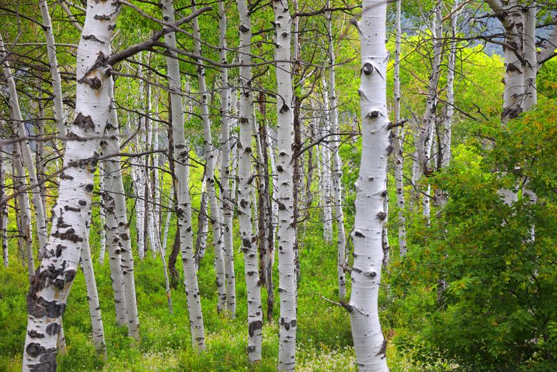 Aspen-Bäume in der Frühherbstzeit stockfotos