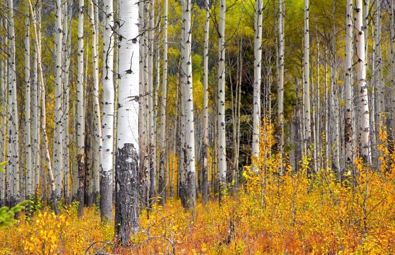 Aspen-Bäume in der Herbstzeit stockfotografie