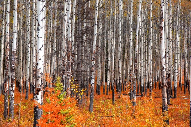 Aspen-Bäume in der Herbstzeit lizenzfreies stockbild