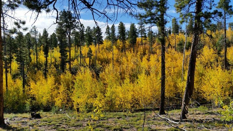 Aspen-Bäume, die ihre Fallfarben in Colorado zeigen stockfoto