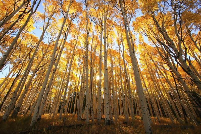 Aspen-Bäume mit Fallfarbe, San Juan National Forest, Colorado stockbilder