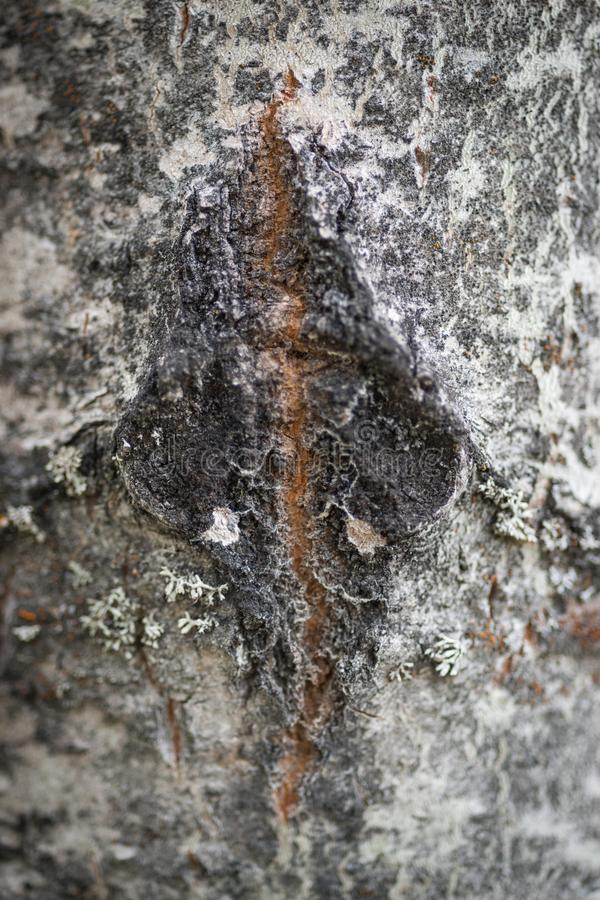 Aspen Bark Scar. The scar in the bark of an Aspen tree is portrayed in this image royalty free stock image
