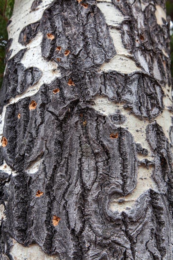 Aspen Bark Texture marcado con una cicatriz imagen de archivo