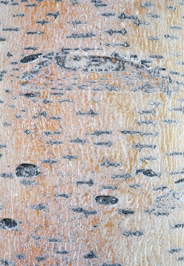 Aspen-Baum lizenzfreie stockbilder
