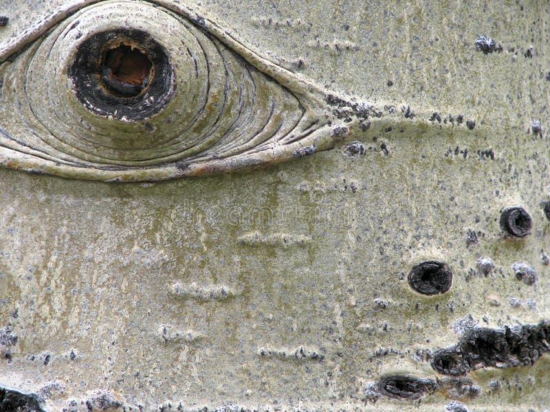 Aspen-Baum-Barke-Auge lizenzfreie stockfotografie