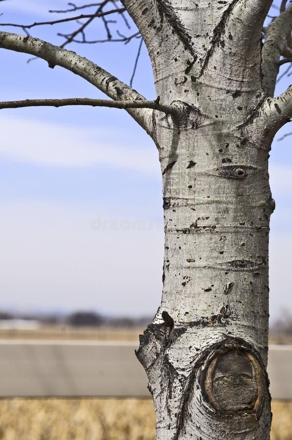 Aspen-Baum gegen ein landwirtschaftliches Ba kground lizenzfreies stockbild