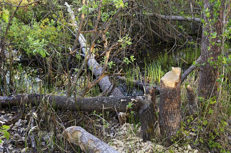 Aspen beavers trees swamp. Photo fragments of gnawed damaged cut down beavers aspen trees in the swampy area during the day. The view from the top stock photography
