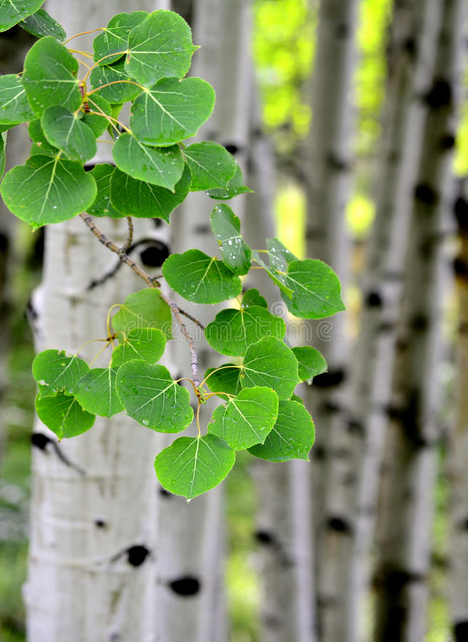 Aspen Birch Trees in Summer stock image