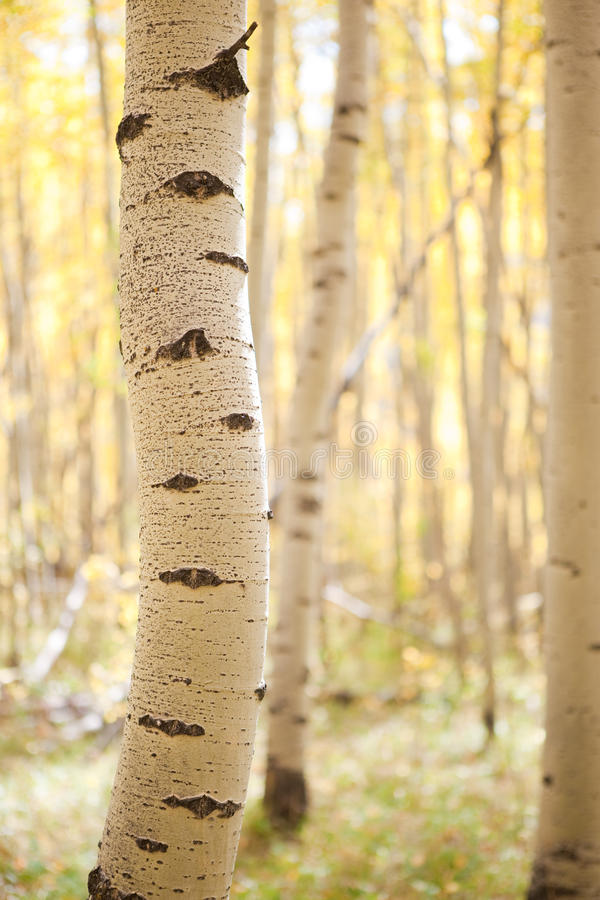 Aspen bole royalty free stock photo