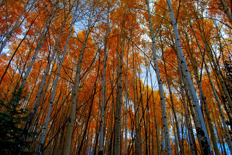 Download Aspen Canopy stock photo. Image of color, leaves, popular - 7074936