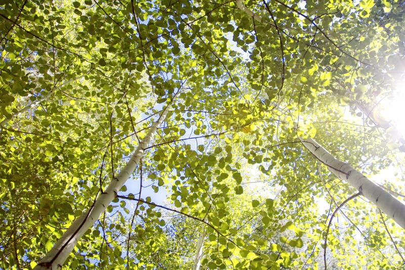 Aspen Canopy mit Sun-Aufflackern stockfotos
