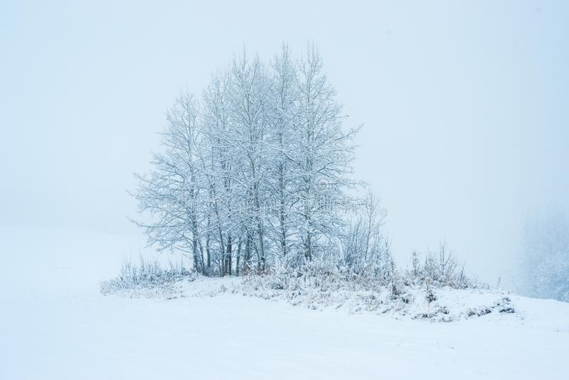 Aspen Clone na primeira neve fotografia de stock