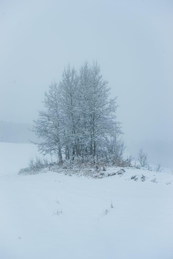 Aspen Clone - primeira neve fotografia de stock royalty free