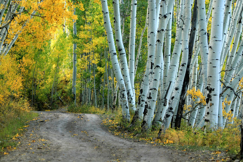 Aspen Country Road. Country road winding through the yellow aspens in the fall royalty free stock images