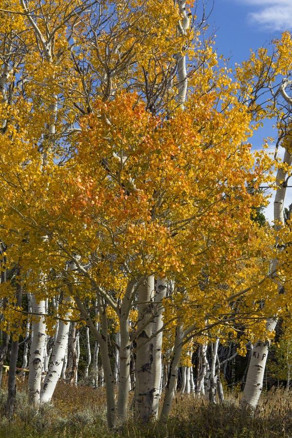 Aspen de oro en Casper Mountain Wyoming fotografía de archivo libre de regalías