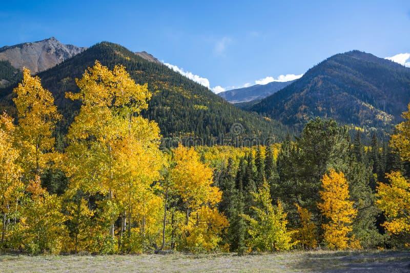 Aspen deixa o giro dourado, alaranjado e amarelo nas montanhas de Colorado durante a queda fotografia de stock