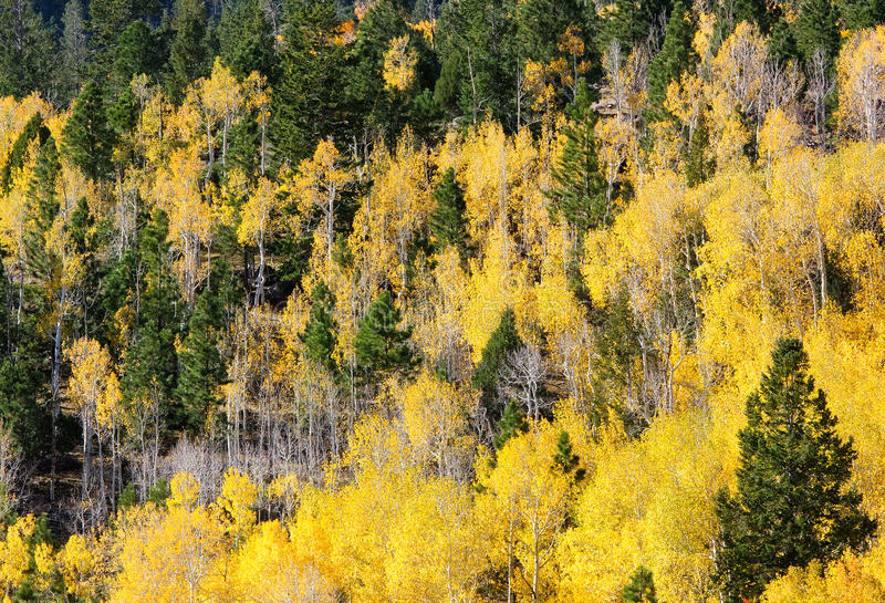 Aspen e mistura da árvore de Piine fotografia de stock royalty free