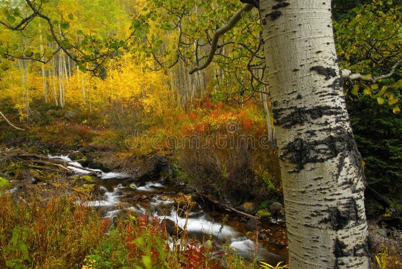 Aspen in Fall stock photos
