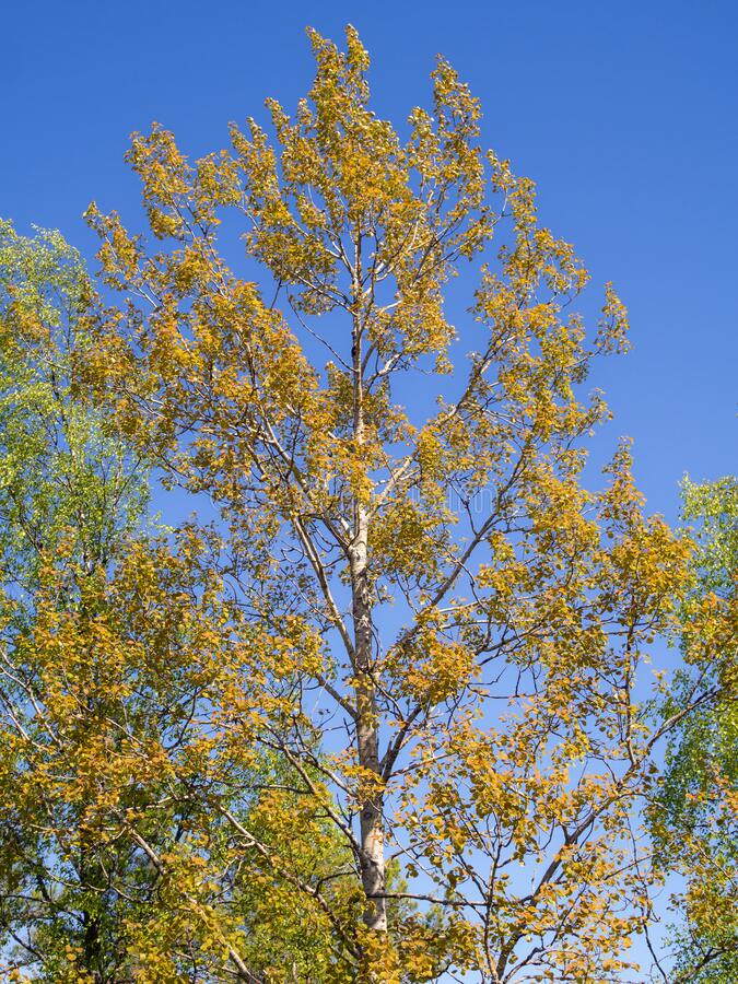 Aspen foliage in the summer stock image