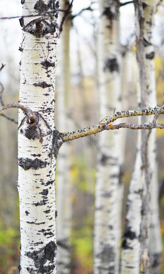 Aspen Forest in de herfst stock foto's