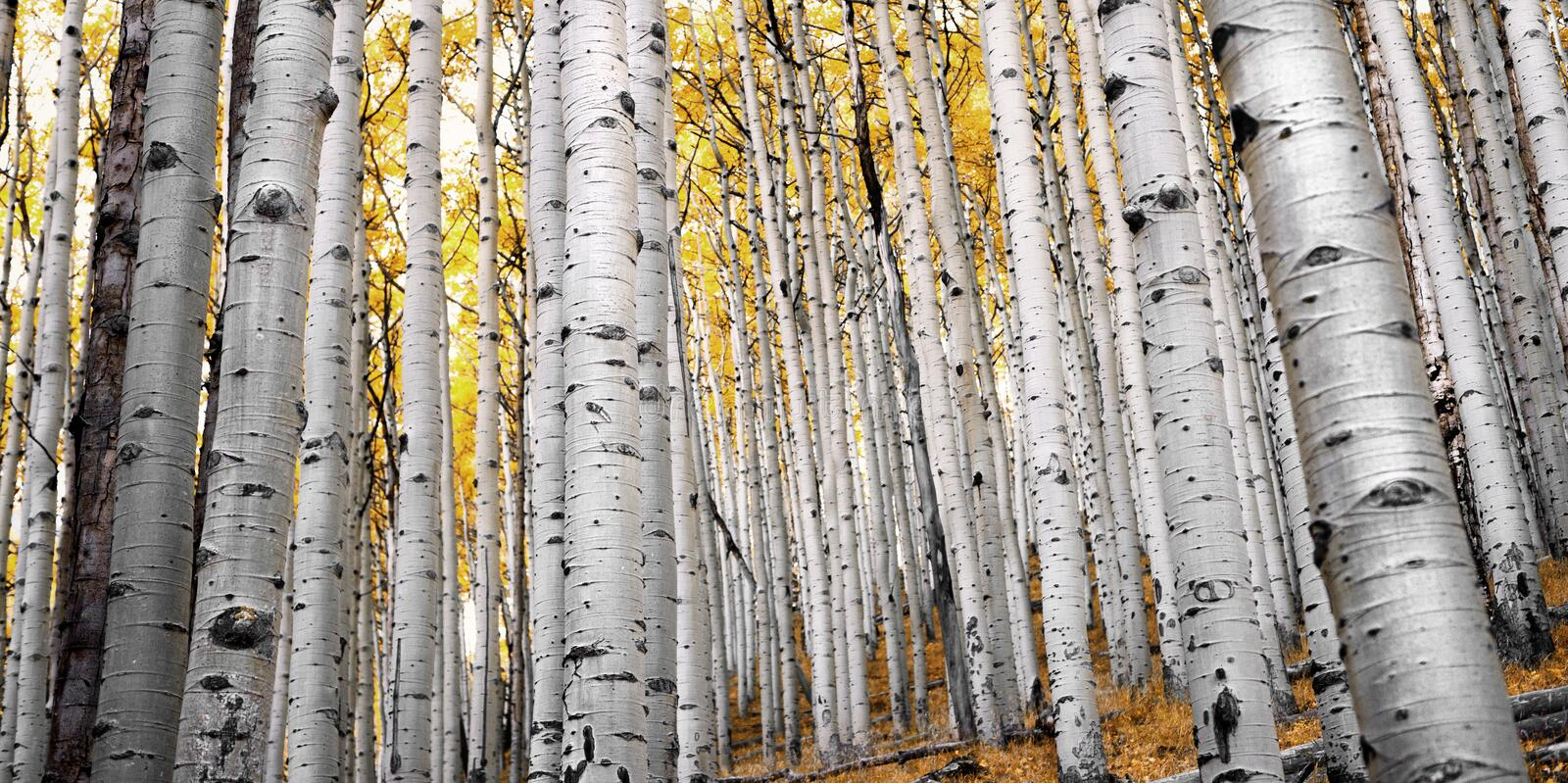 Aspen Forest in Flagstaff. Hiking along the Inner Basin Trail in Autumn royalty free stock images