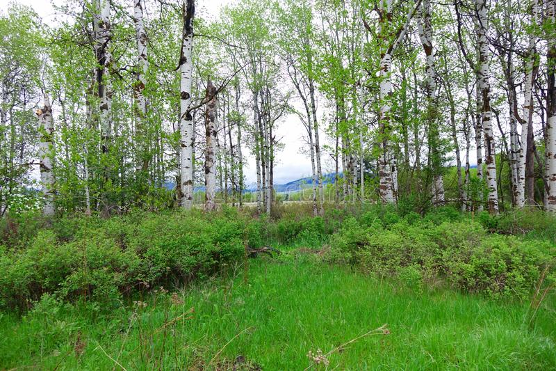 Aspen Forest près de Missoula, Montana photographie stock