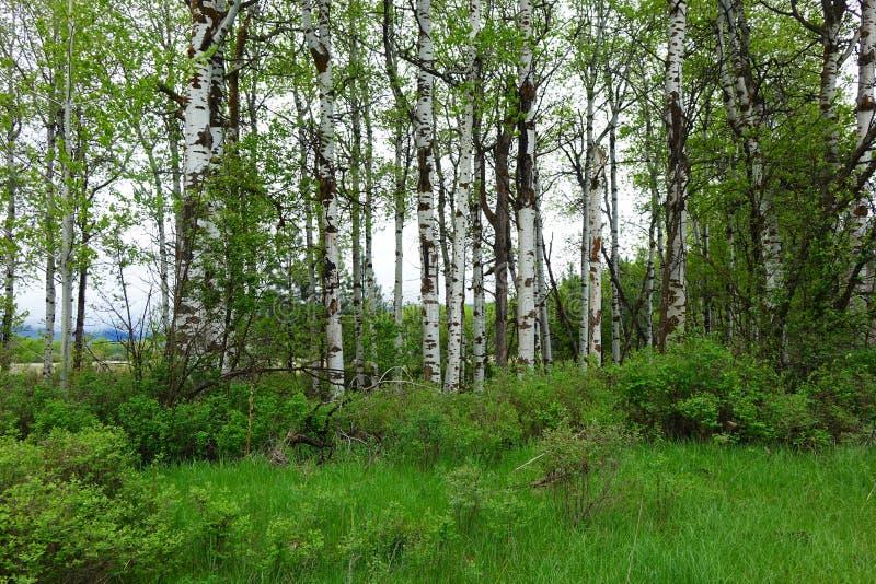 Aspen Forest près de Missoula, Montana image libre de droits