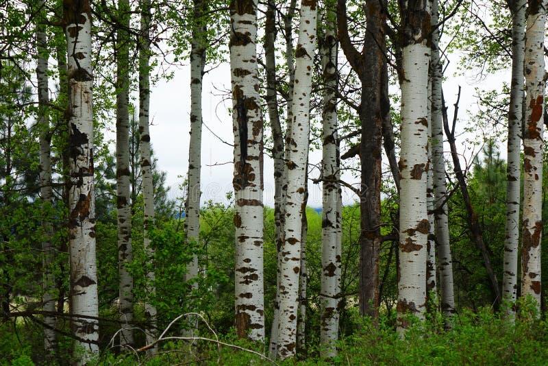 Aspen Forest près de Missoula, Montana photo libre de droits