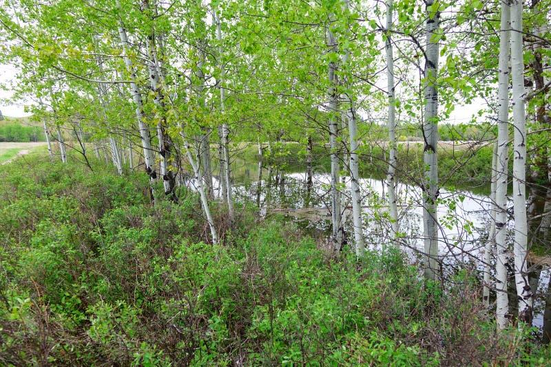 Aspen Forest près de Missoula, Montana photos libres de droits