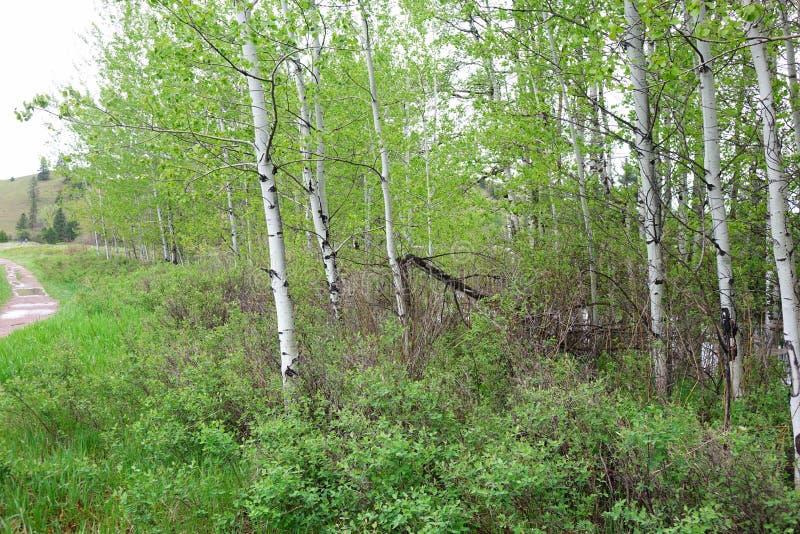 Aspen Forest près de Missoula, Montana photo stock