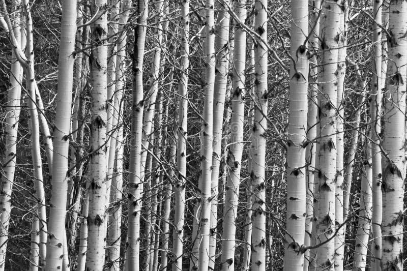 Aspen Forest Tree Trunks Background stockfotografie