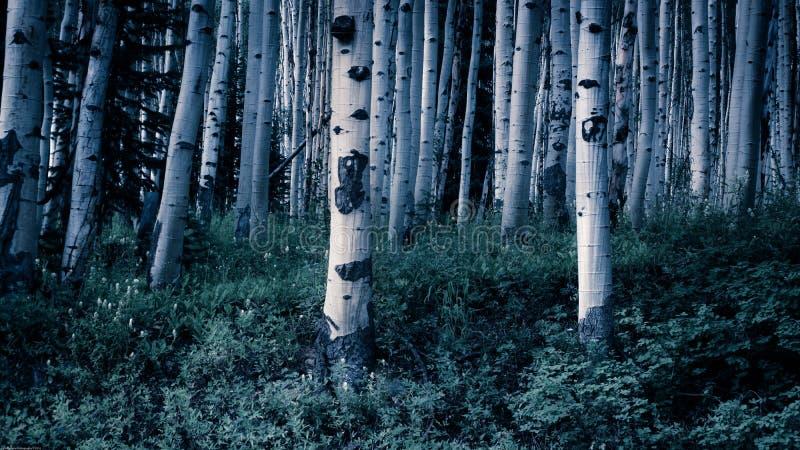 Aspen Forest Trees II fotos de archivo libres de regalías