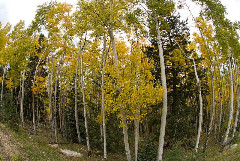 Download Aspen Grove stock image. Image of branch, outdoors, hiking - 17685063
