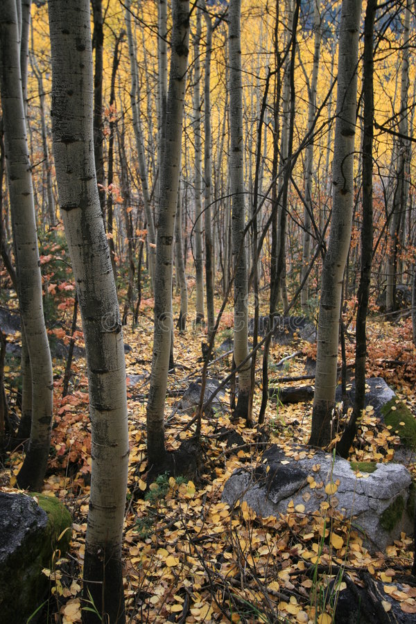 Aspen grove #2 royalty free stock images
