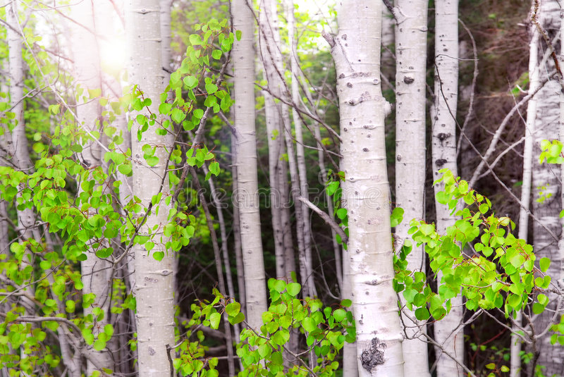 Aspen grove stock photos