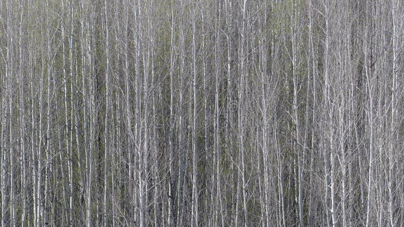 Aspen Grove lizenzfreies stockfoto