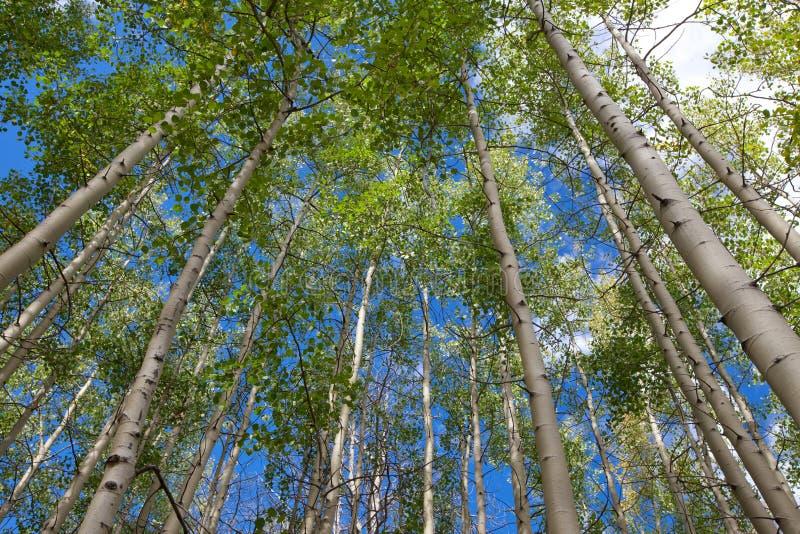Aspen grove against blue sky stock image