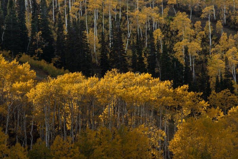 Aspen Grove des feuilles jaunes d'automne photographie stock