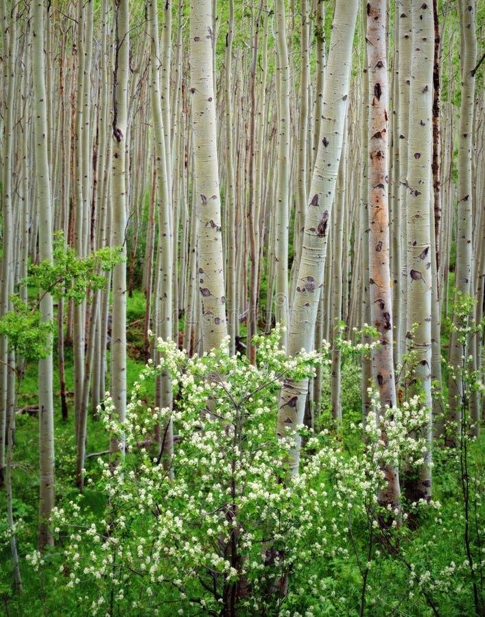 Aspen Grove Dogwood, Maroon Bells Wilderness,