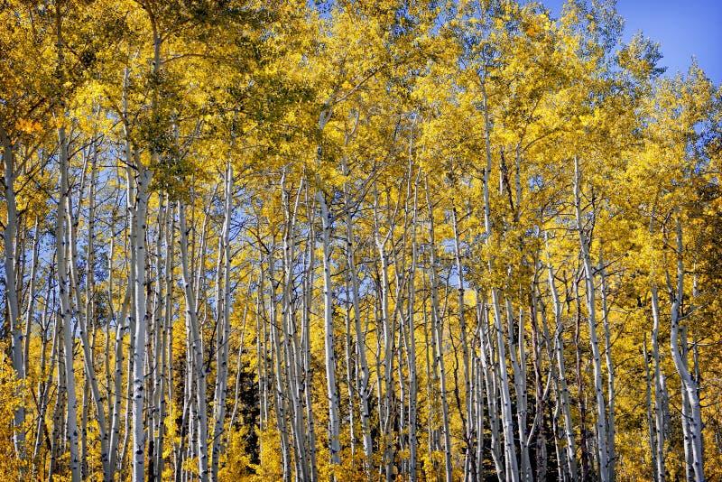 Aspen Grove dourado no outono foto de stock