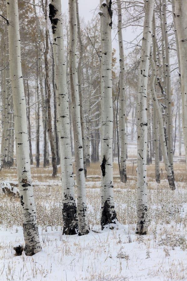 Aspen Grove en invierno, Hastings Mesa Colorado fotos de archivo libres de regalías