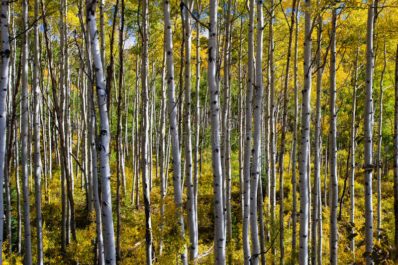 Aspen Grove grand-angulaire images stock