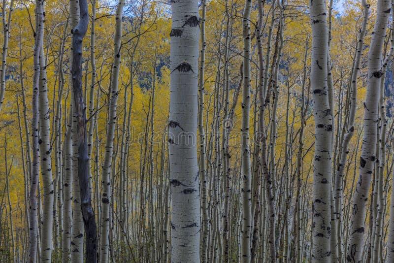 Aspen Grove i höst, Hastings Mesa Colorado arkivbild