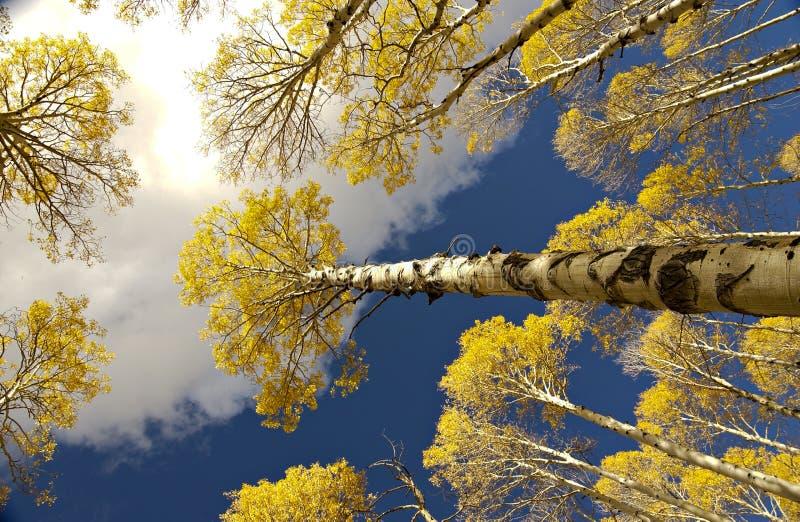 Aspen grove overhead stock photo